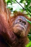 Portrait of Orang utang Stock Image