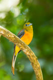 Portrait of Orange-breasted Trogon Royalty Free Stock Photography