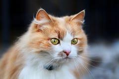 Portrait of an orange cat Royalty Free Stock Photo