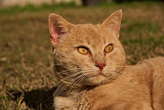 Portrait of an orange cat in the nature Royalty Free Stock Photography