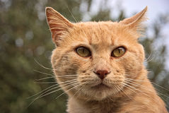 Portrait of a orange cat outdoor. Portrait of an orange cat outdoor with a beautiful background Royalty Free Stock Images