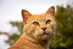 Portrait of a orange cat outdoor. Portrait of an orange cat outdoor with a beautiful background Royalty Free Stock Image