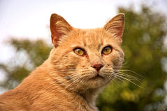 Portrait of a orange cat outdoor. Portrait of an orange cat outdoor with a beautiful background Royalty Free Stock Photo
