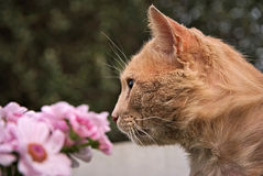 Portrait of a orange cat outdoor. Portrait of an orange cat outdoor with a beautiful background Royalty Free Stock Photos