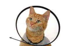 Portrait of an orange ginger tabby cat wearing an e collar royalty free stock image