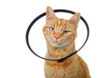 Portrait of an orange ginger tabby cat wearing an elizabethian collar royalty free stock image