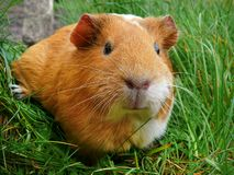Portrait of orange guinea pig on green grass background stock images