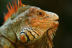 Portrait of orange iguana in the dark green forest, Costa Rica Royalty Free Stock Images