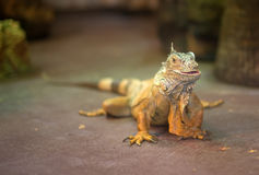 Portrait of orange iguana. Royalty Free Stock Images