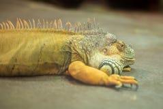 Portrait of orange iguana. Stock Photos