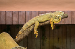 Portrait of orange iguana. Stock Images