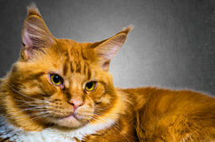 Portrait orange rouge de chat de grand ragondin de Maine Photo libre de droits