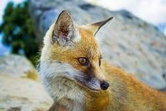 Portrait orange rouge de renard dans l'endroit de wilde Images libres de droits