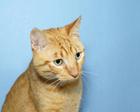 Portrait of Orange Tabby Cat on blue background. Orange Tabby Cat on blue textured background looking down and to the side Royalty Free Stock Image