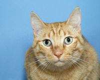 Portrait of Orange Tabby Cat on blue background. Portrait of Orange and white tabby cat on blue textured background, looking straight ahead. Copy space Royalty Free Stock Image