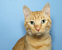 Portrait Orange Tabby Cat on Blue Background. With yellow green eyes looking straight ahead. Copy space Stock Image