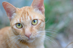 Portrait of a orange tabby cat. Close up portrait of a orange tabby cat Stock Photo