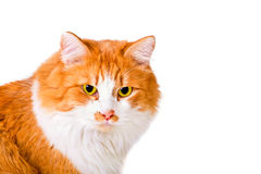 Portrait of orange and white cat. Portrait of beautiful fluffy orange and white cat Stock Photography