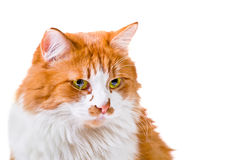 Portrait of orange and white cat. Portrait of beautiful fluffy orange and white cat Stock Images
