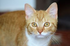 Orange tabby cat portrait. Portrait of orange and white domestic short haired tabby cat looking attentively stock photography