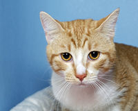 Portrait of Orange and white Tabby Cat on blue background. Portrait of Orange and white tabby cat on blue textured background, looking straight ahead. Copy space Stock Image