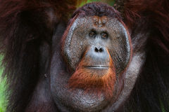 Portrait of Orangutan. Indonesia.Borneo. Rainforest.  Pongo pygmaeus wurmbii - southwest populations. Pongo pygmaeus wurmbii - southwest populations. The Royalty Free Stock Images