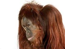 Portrait of Orangutan Stock Images