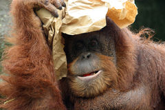 Portrait of orangutan. Covering its head with paper Stock Photography