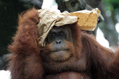 Portrait of orangutan. Covering its head with paper Stock Images