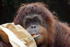 Portrait of orangutan. Eating fruits Royalty Free Stock Photo
