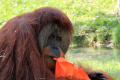 Portrait of orangutan with bag. In mouth at local zoo Stock Photos