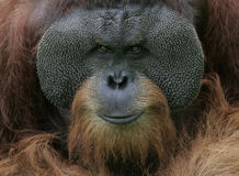 Orangutan Portrait. Portrait of Orangutan looking at you Stock Image