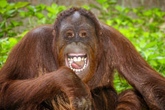 Portrait of Orangutan (Pongo pygmaeus) laughing. With mouth wide open Stock Image