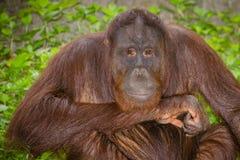 Portrait of Orangutan (Pongo pygmaeus) Royalty Free Stock Photo
