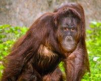 Portrait of Orangutan (Pongo pygmaeus) Royalty Free Stock Images