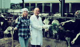 Portrait of ordinary cowgirl and doctor. Working in cowhouse Royalty Free Stock Images