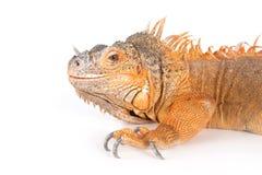 Portrait of ordinary iguanas (red morph). Royalty Free Stock Photo