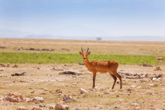 Portrait of oribi standing in deserted savanna Royalty Free Stock Photo