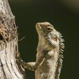 Portrait of Oriental garden lizard in Pottuvil, Sri Lanka Royalty Free Stock Images