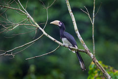 Portrait of Oriental pied hornbill (Anthracoceros albirostris) Stock Photo