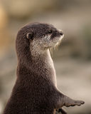 Portrait of Oriental Short-clawed Otter Royalty Free Stock Photography