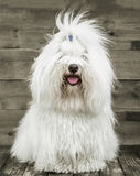 Portrait of an original Coton de Tuléar dog - pure white like c Stock Image