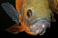 Portrait of oscar fish Royalty Free Stock Photography