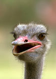 Portrait of an ostrich. Shot at an ostrich farm Royalty Free Stock Photos