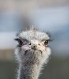 Portrait of an ostrich Royalty Free Stock Photography