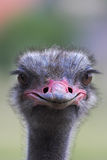 Portrait of an ostrich. Shot on an ostrich farm in Austria Royalty Free Stock Photos