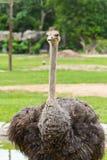 Portrait of ostrich Stock Photos