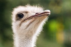 Portrait of ostrich Royalty Free Stock Photo