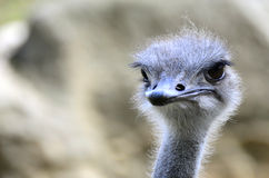 Portrait of Ostrich. A portrait of Ostrich, looking cute Royalty Free Stock Photography