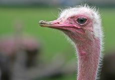 A Portrait of Ostrich. With pink long neck and green grass background stock images